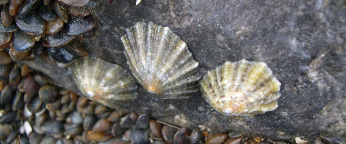 Gewone schaalhorens op een strandhoofd | © WoRMS, Filip Nuyttens