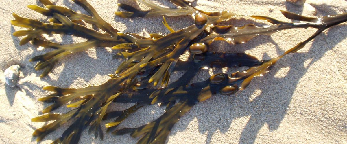 Blaaswier op strand | Stemonitis - CC BY-SA 2.5 via Wikimedia Commons