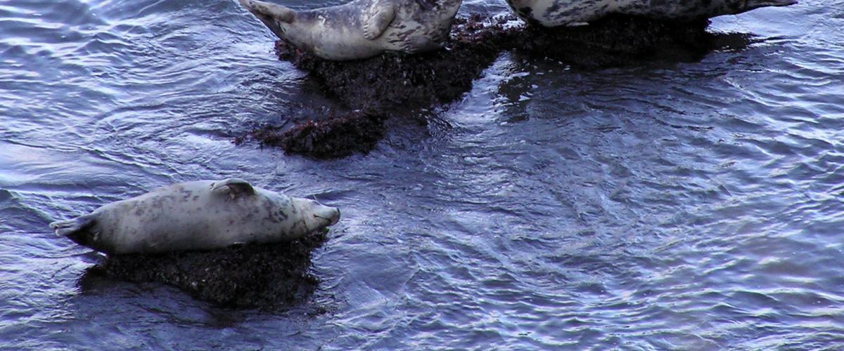 Grijze zeehond op rots | Yummifruitbat - CC BY-SA 2.5 via Wikimedia Commons