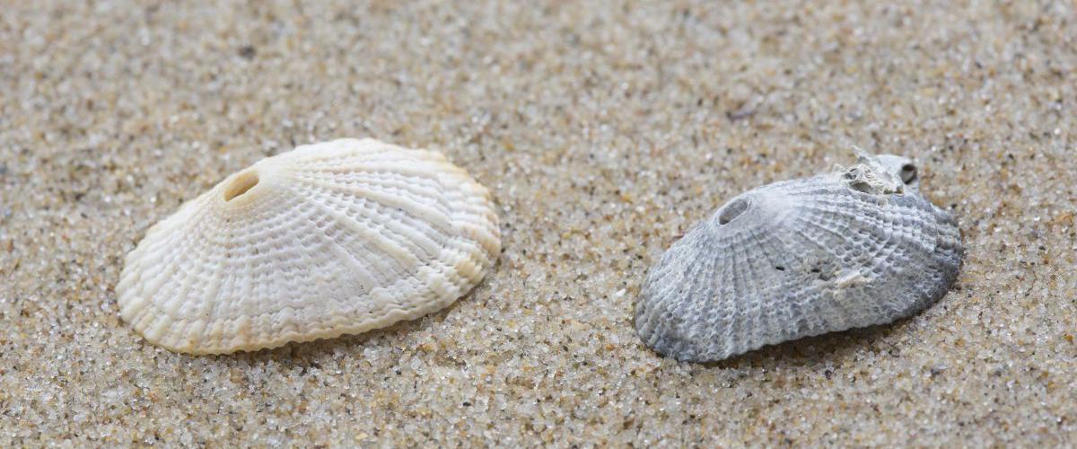 Fossiele schelpen van sleutelgathoren   © Misjel Decleer