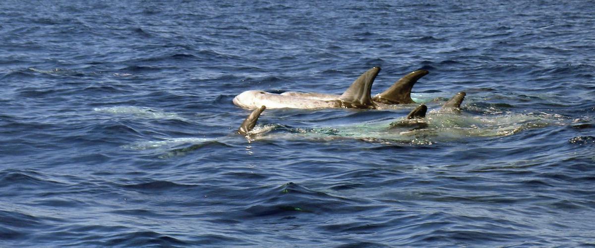 Grijze dolfijn Noordzee   © Ecomare