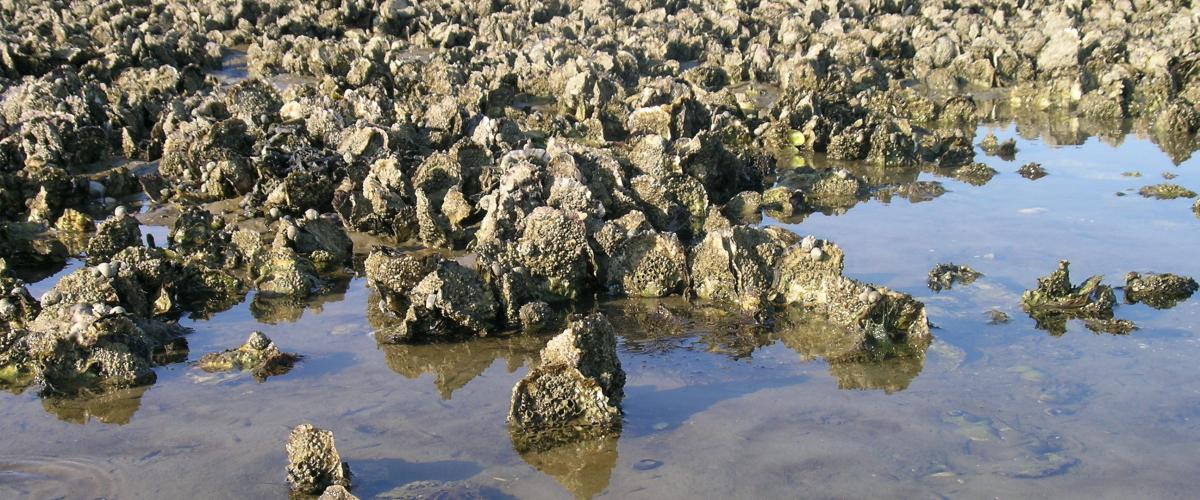 Rif van Japanse oesters in de Waddenzee | © Ecomare