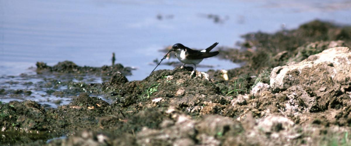 Huiszwaluw | © Ecomare, Rein Jansen