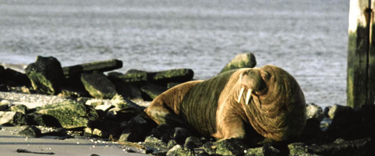 Walrus | © Ecomare