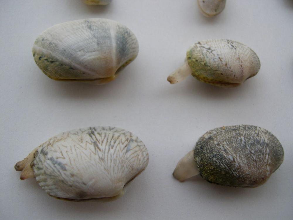 Jonge kleine tapijtschelp | © WoRMS, Filip Nuytten