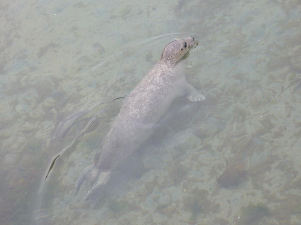 Mannetje gewone zeehond | Drow male - CC BY-SA 4.0 via Wikimedia Commons