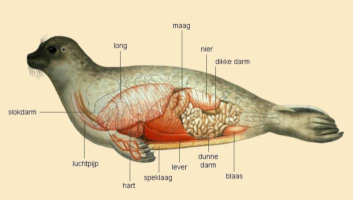 Anatomie van de zeehond | © M. Oberdorff