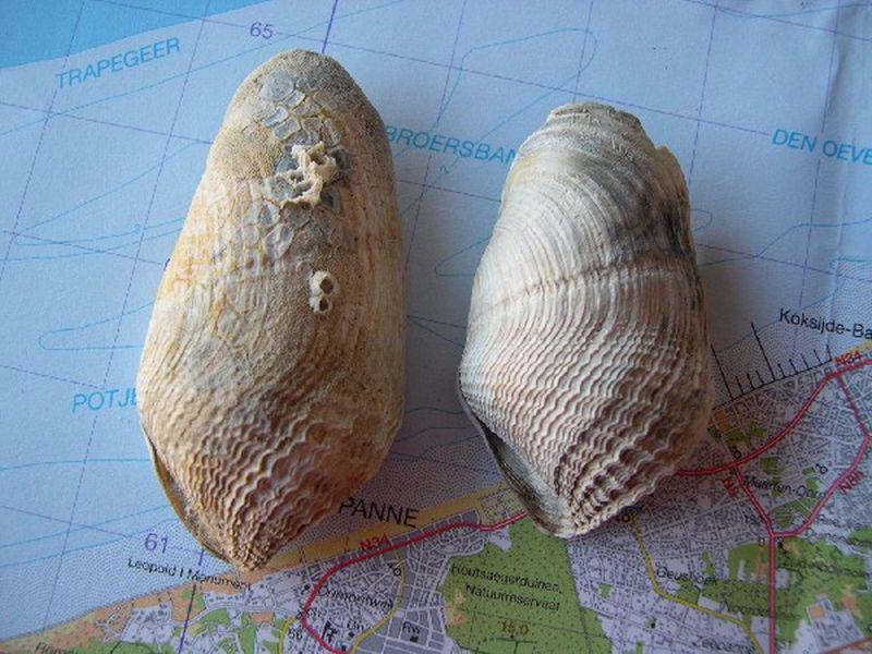 Fossiele schelpen van ruwe boormossel | © marinespecies.org, Filip Nuyttens