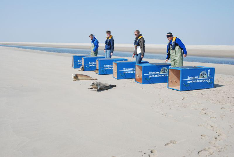 Uitzetten van zeehonden   © Ecomare