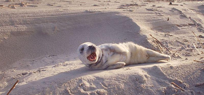 Jonge grijze zeehond, Texel 1992   © Ecomare