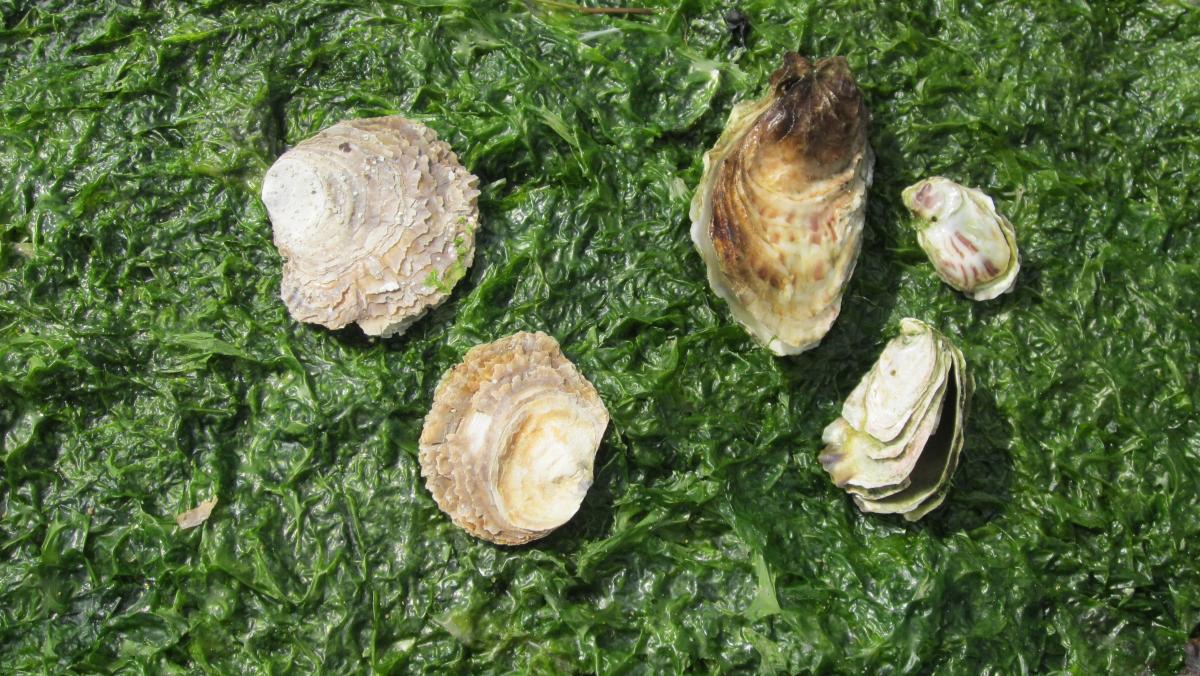 Platte en Japanse oester | © Nancy Fockedey