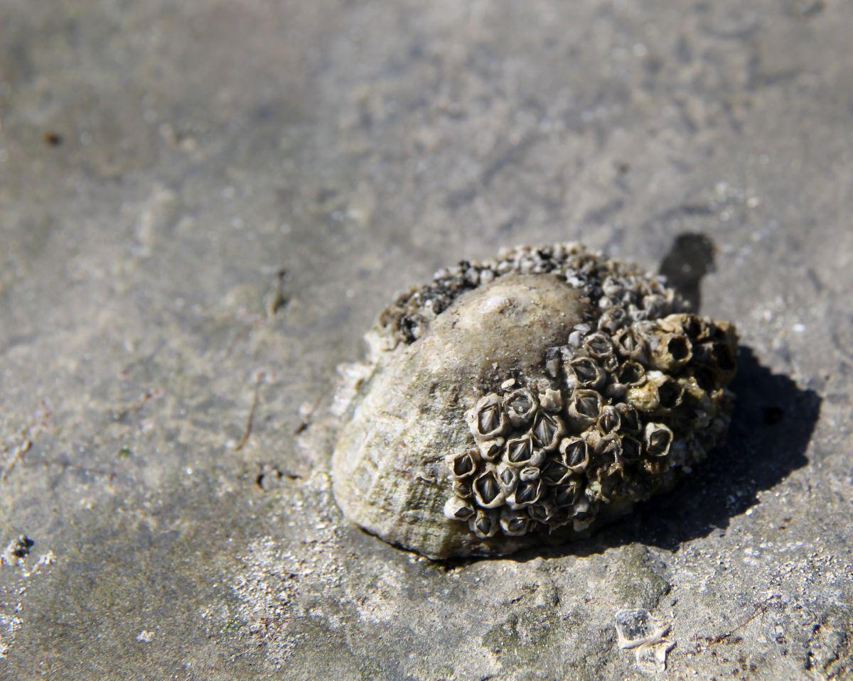 Gewone schaalhoren met zeepokken | © VLIZ, Leontien De Wulf