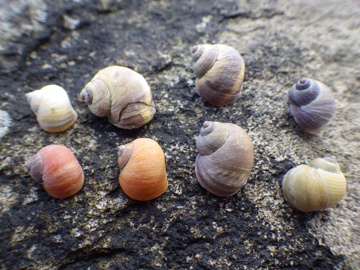 Ruwe alikruiken | © WoRMS, Julius A. Ellrich