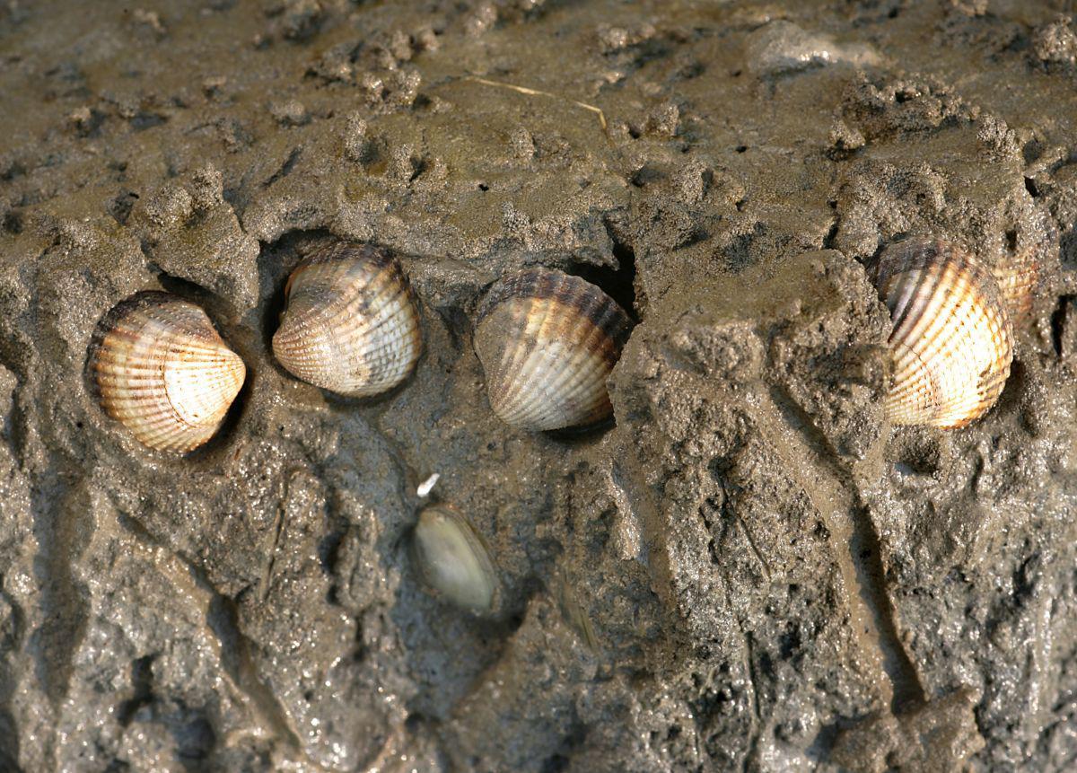 Ingegraven kokkels blootgelegd | © Misjel Decleer
