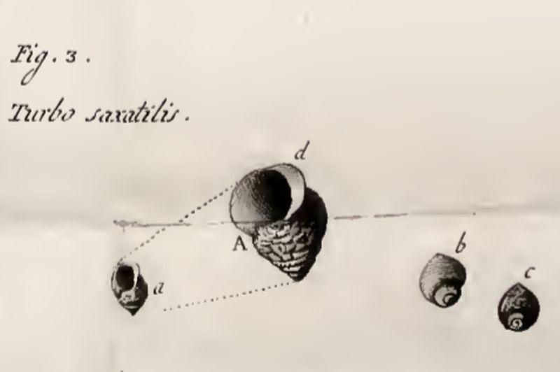 Eerste beschrijving door abt Olivi | © WoRMS, VLIZ bibliotheek