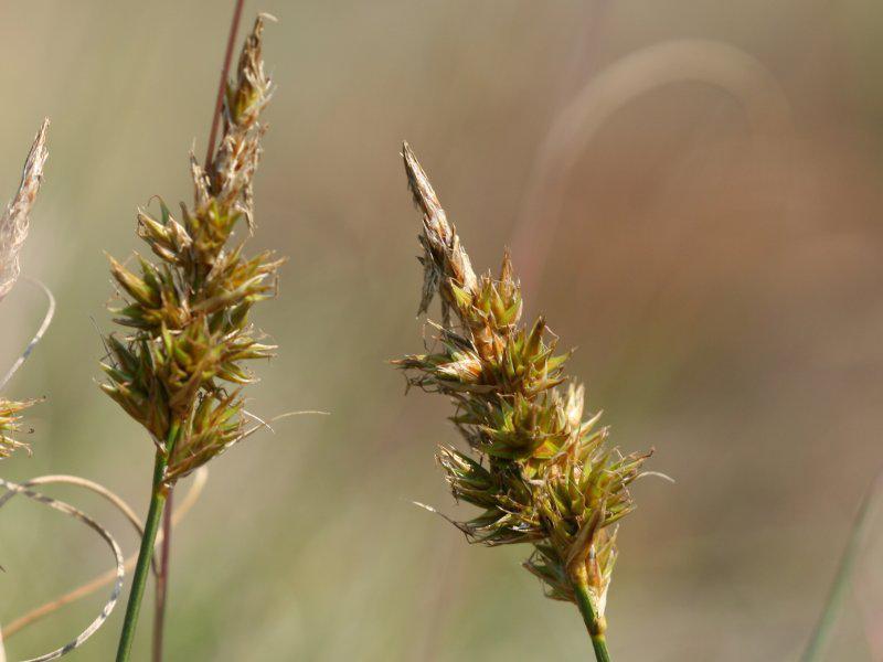 Zandzegge | CC-BY.SA.3.0, Kristian Peters, WikiMedia