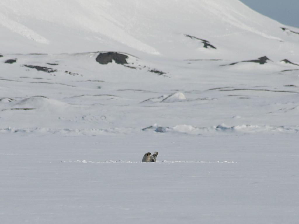 Ringelrob op ijsplaat, oostkust Svalbard   © M.Buschmann - CC BY-SA 3.0 via Wikimedia Commons