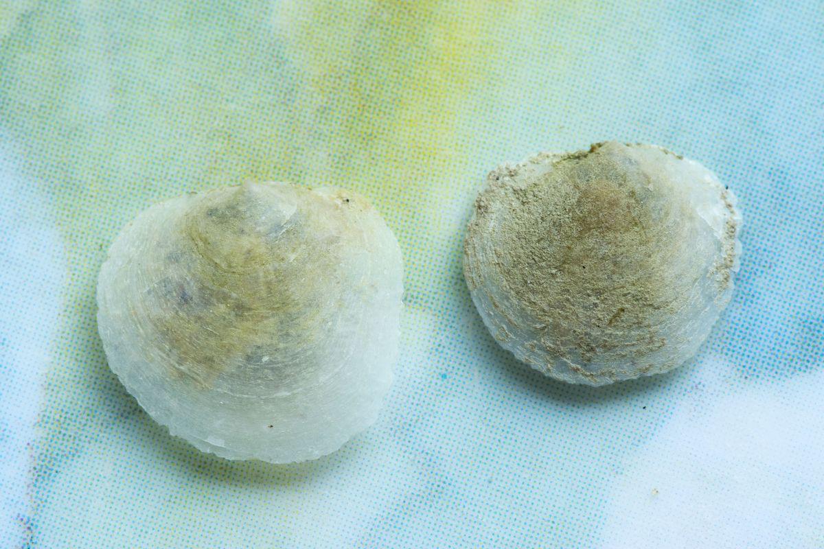 Breekbare schelp van schilferige dekschelp | © Misjel Decleer