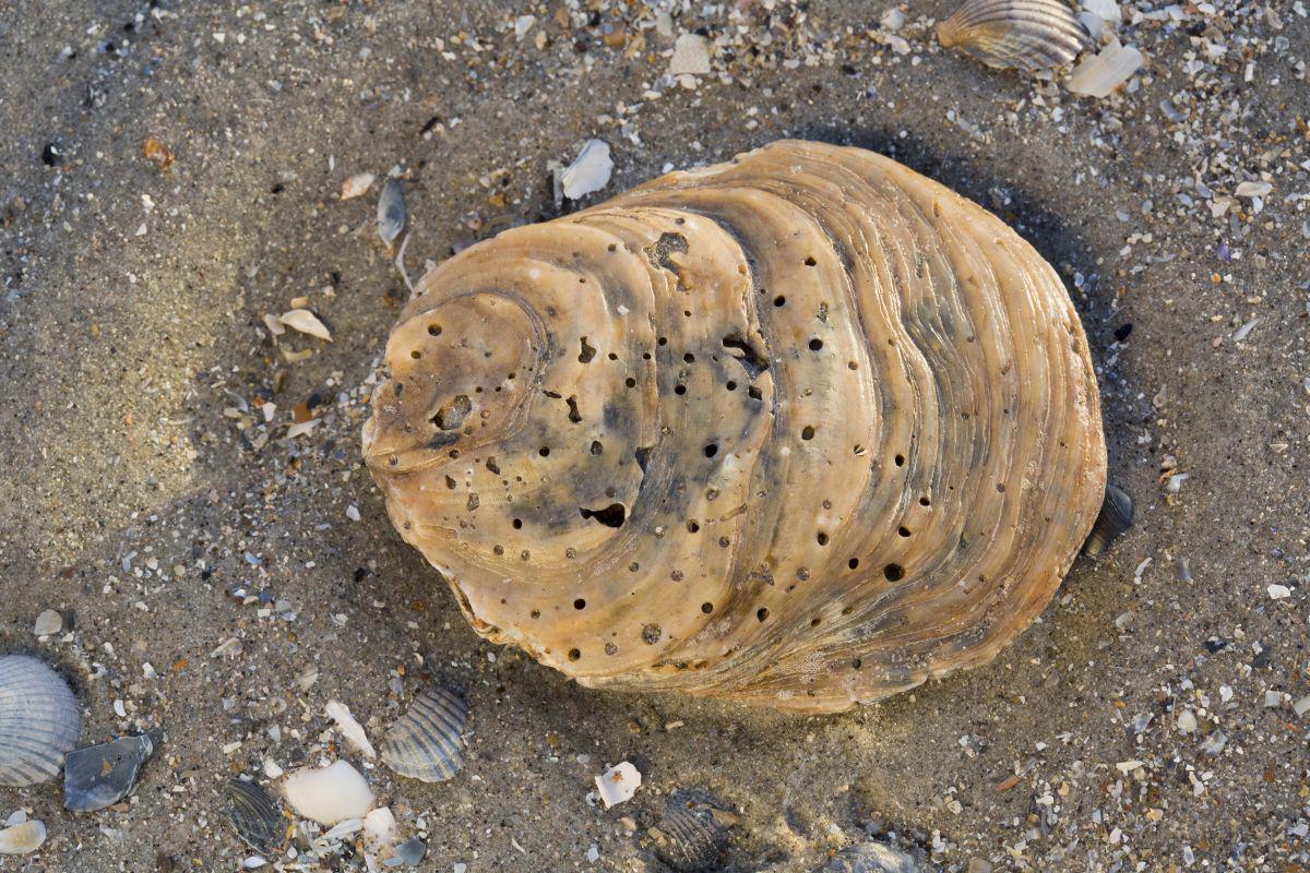 Fossiele schelp van platte oester, met gaatjes door boorspons | © Misjel Decleer