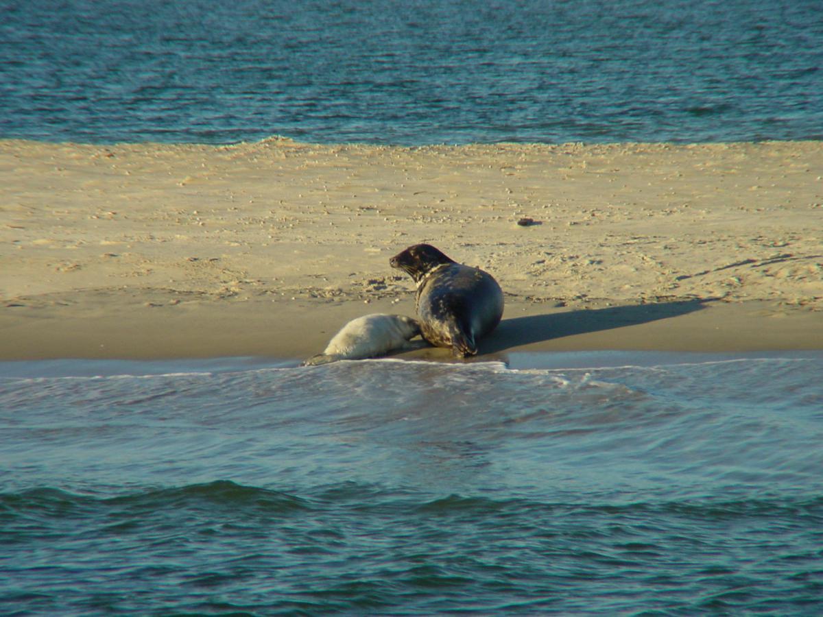 Grijze zeehond met jong | © Ecomare, Salko de Wolf