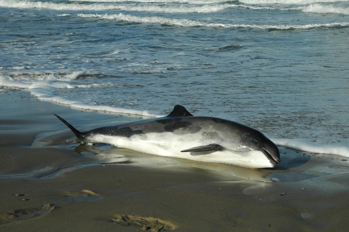 Bruinvis aangespoeld Noordzeekust   © Ecomare, Salko de Wolf