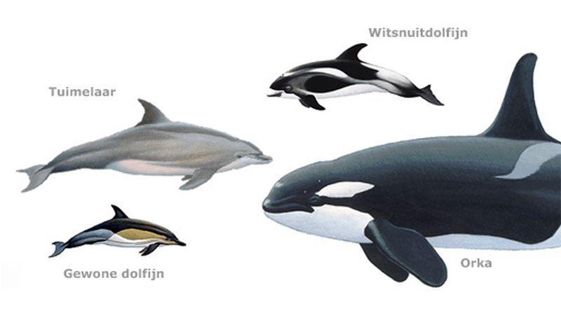 Overzicht dolfijnen   © Ecomare, Frits-Jan Maas