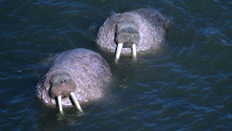 Walrussen | © Foto Fitis, Adriaan Dijksen