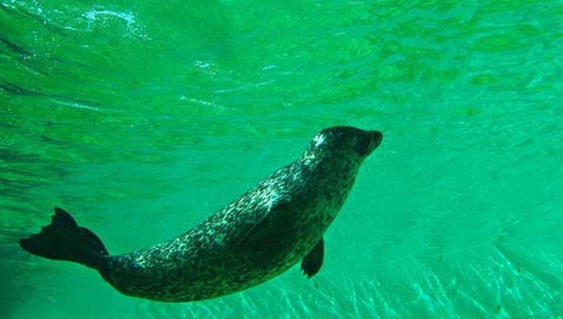Gewone zeehond onder water   © Foto Fitis, Sytske Dijksen