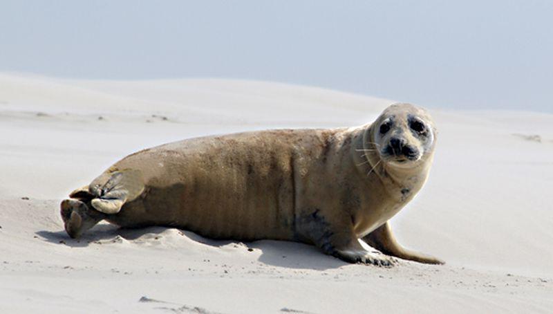 Verharende grijze zeehond   © Foto Fitis