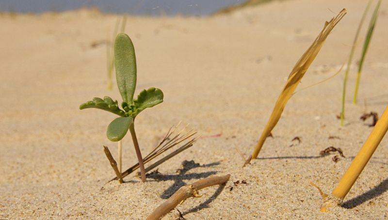 Zeeraket, kiemplantje   © Foto Fitis, Sytske Dijksen