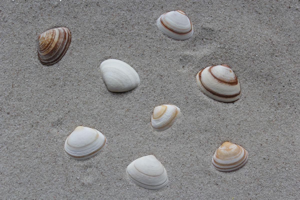 Fossiele ovalen strandschelp   © VLIZ (Robbe Terryn)