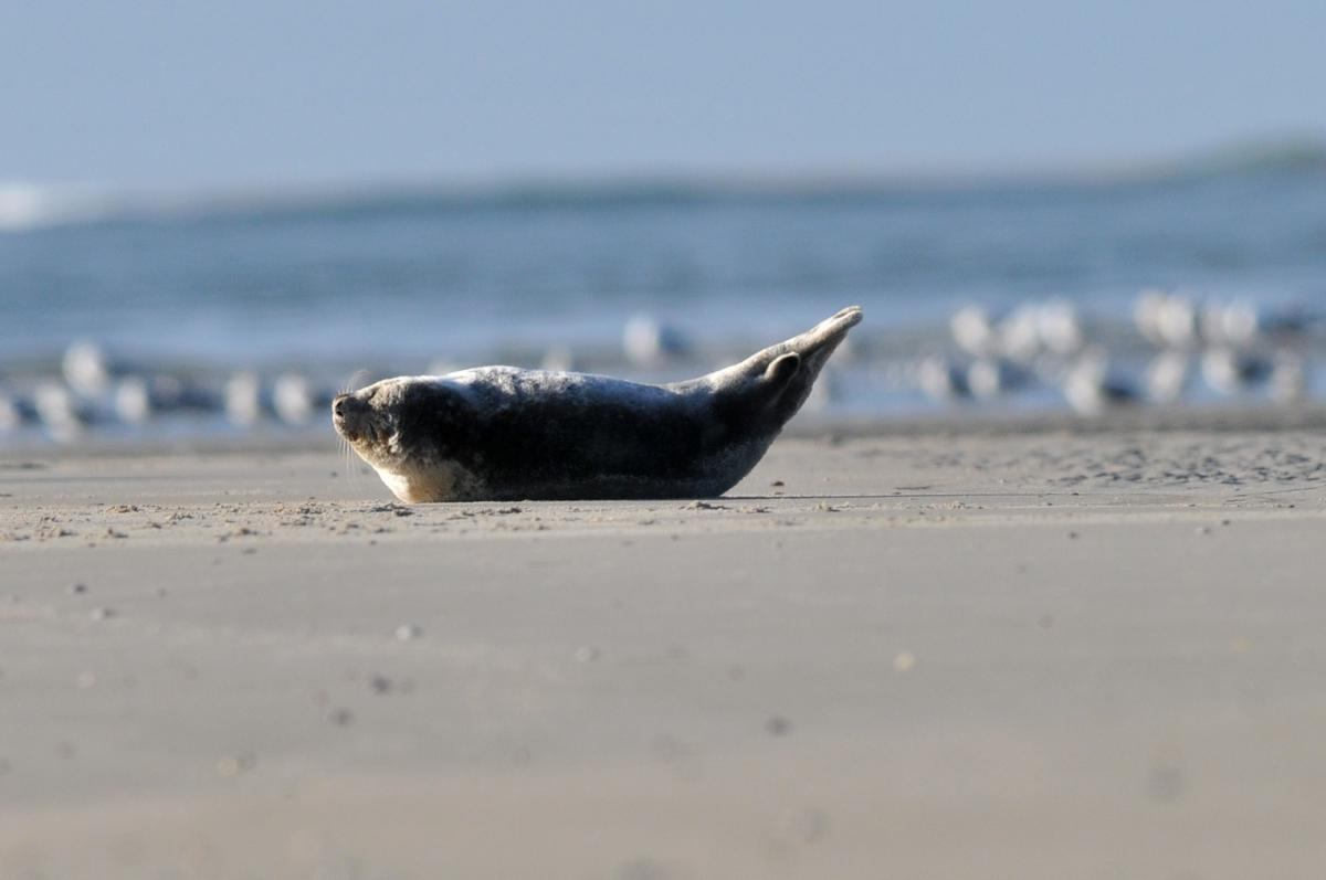 Gewone zeehond in banaanhouding   © Ecomare, Salko de Wolf