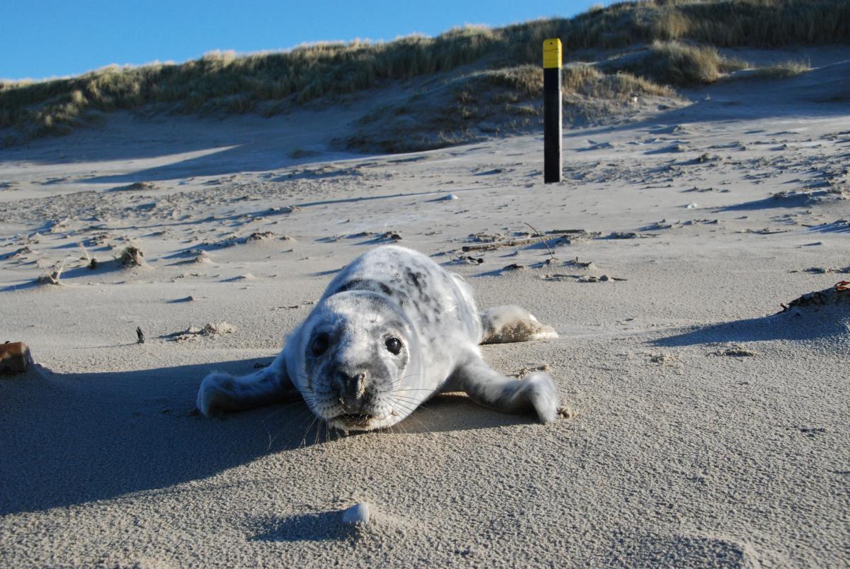 Grijze zeehond Bert   © Ecomare, Salko de Wolf