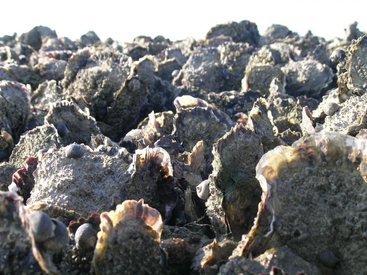 Rif van Japanse oesters | © Ecomare, Oscar Bos