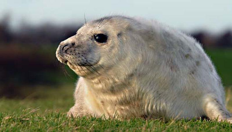 Jonge grijze zeehond   © Salko de Wolf