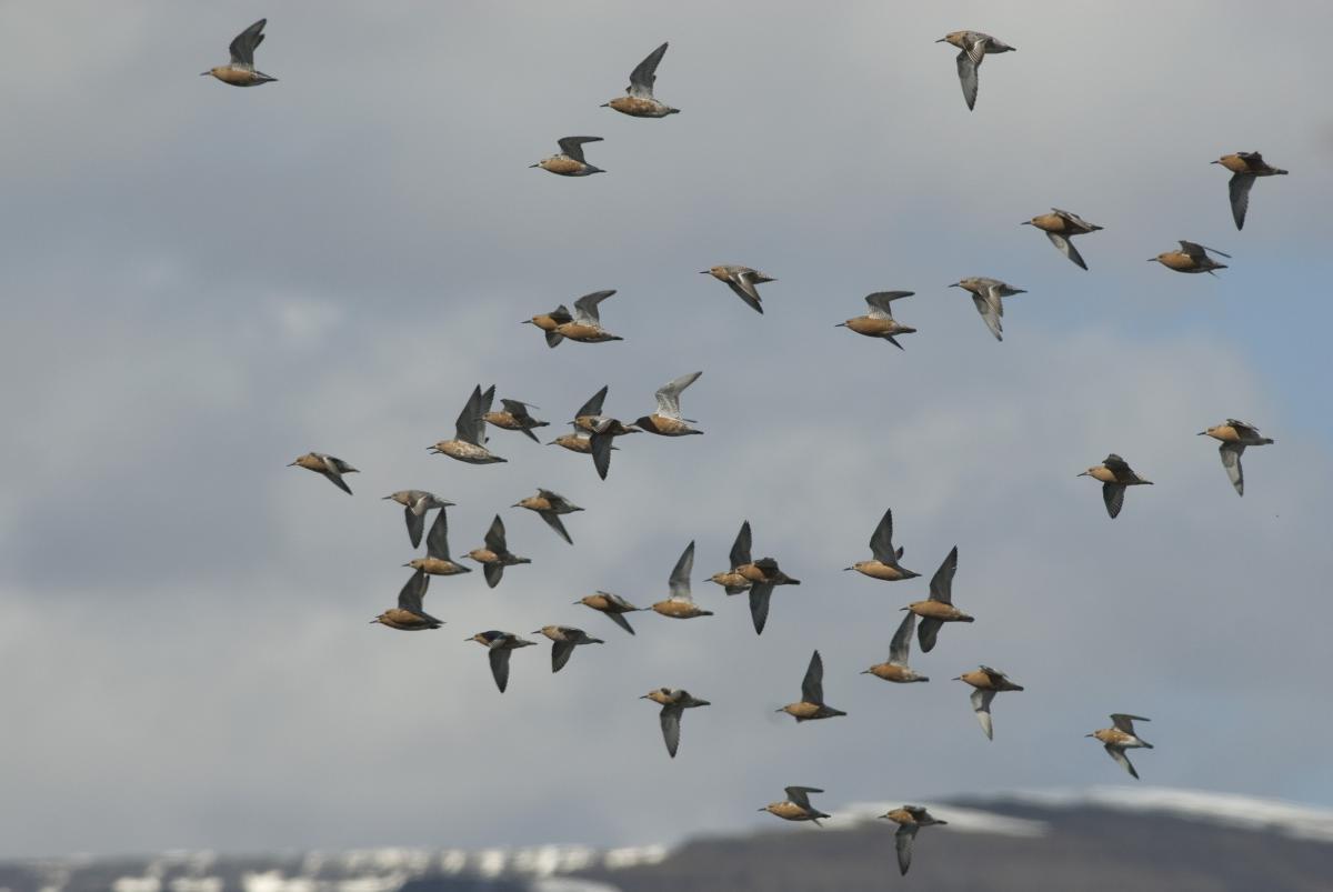 Kanoetstrandlopers in vlucht | © Ecomare, Jeroen Reneerkens