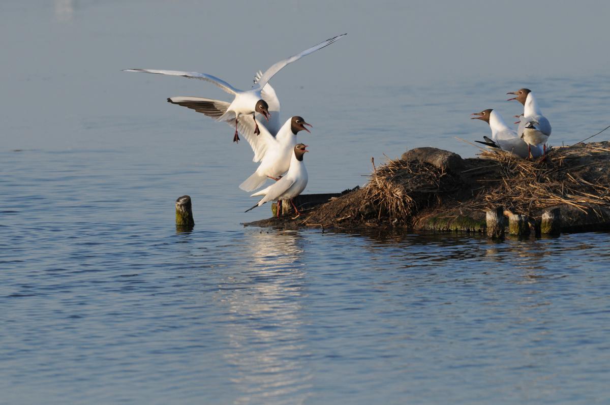 Kokmeeuw, Lachmöwe, black-headed gull   © Salko de Wolf, Ecomare