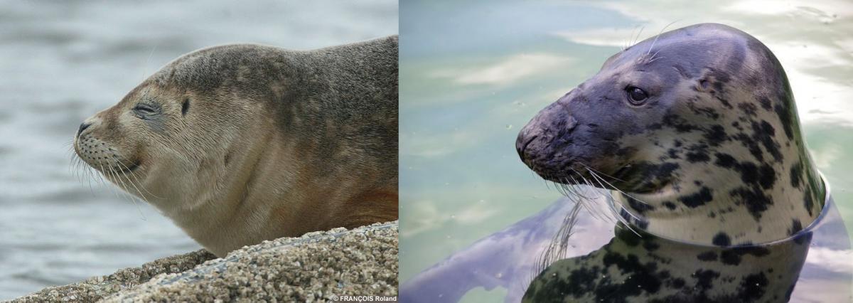 Links: gewone zeehond | © WoRMS, Roland François - Rechts: grijze zeehond | © Pixabay, natural landscapes