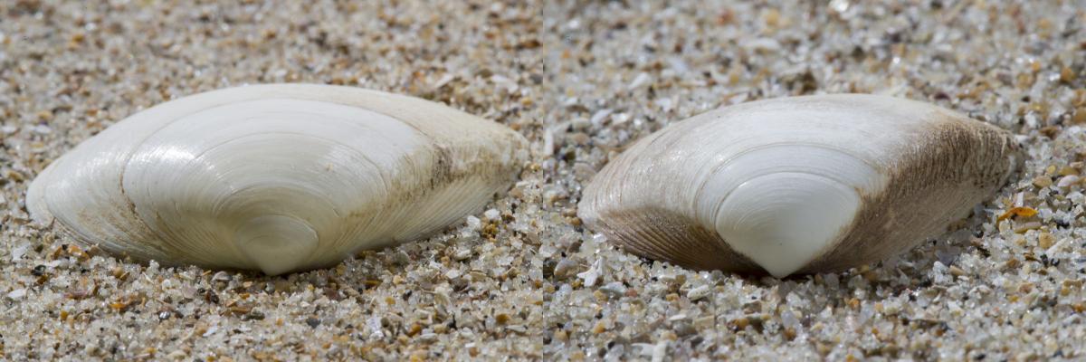 Stevige (links) en halfgeknotte strandschelp (rechts) | © Misjel Decleer