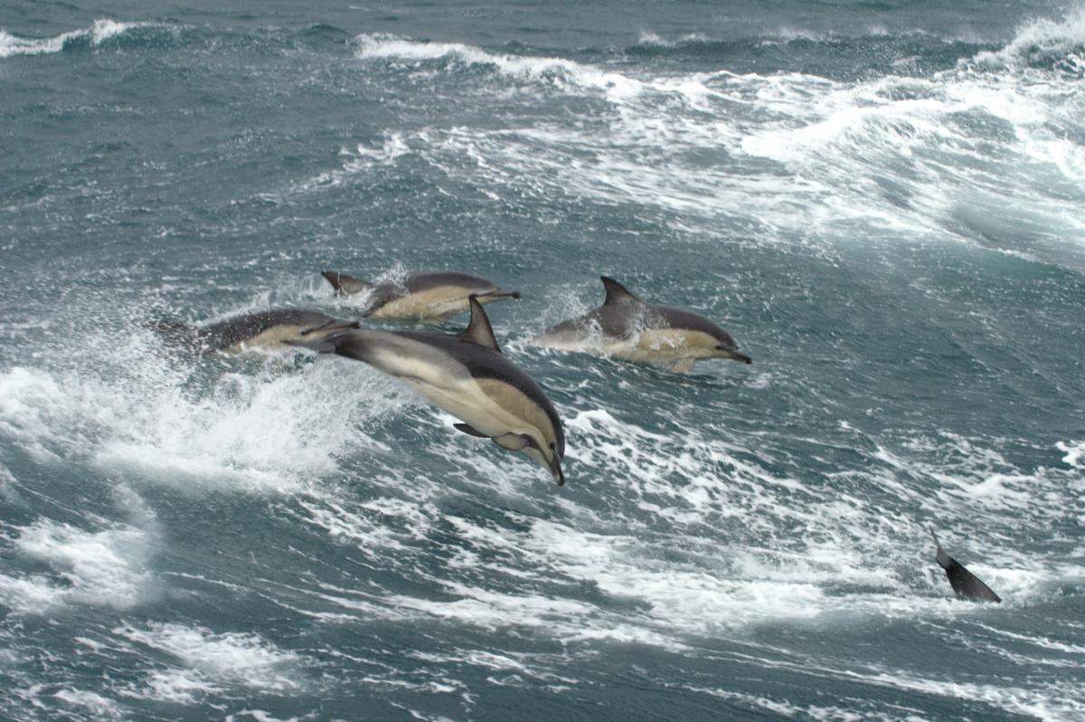 Gewone dolfijnen   © Marijke de Boer