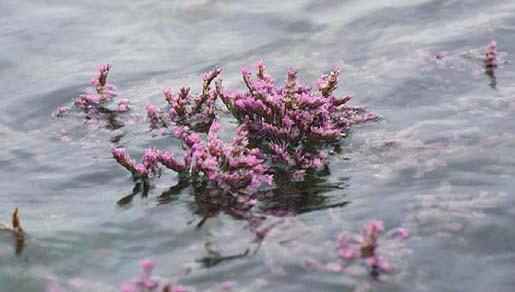 Lamsoor op het schor bij extreem hoogwater | © Ecomare