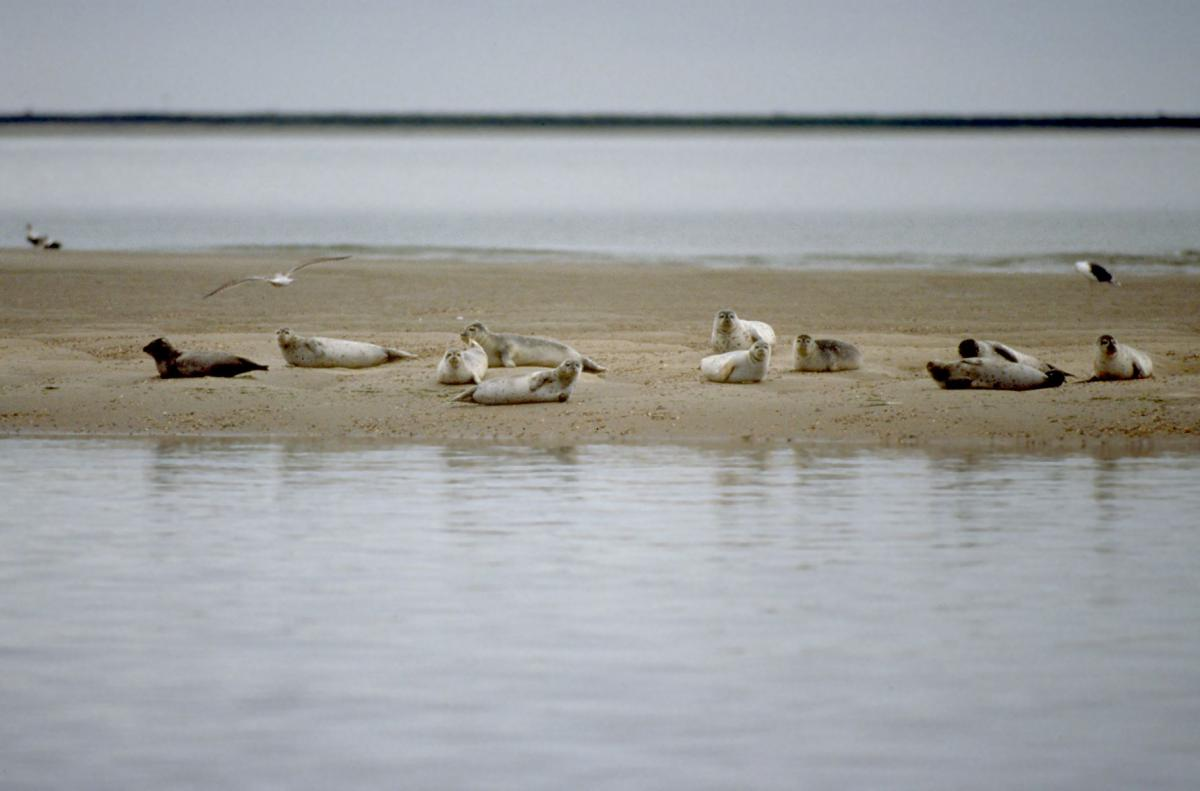 Zeehonden op zandplaat   © Ecomare, Salko de Wolf