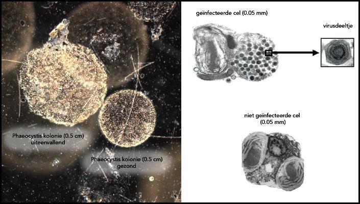 De afbraak van schuimalg door virussen | © Ecomare, Oscar Bos - uit: Corina Brussaard, NIOZ (www.nioz.nl)