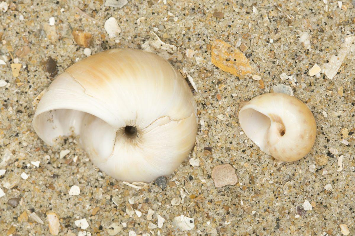 Links: grote tepelhoren - Rechts: glanzende tepelhoren | © Misjel Decleer