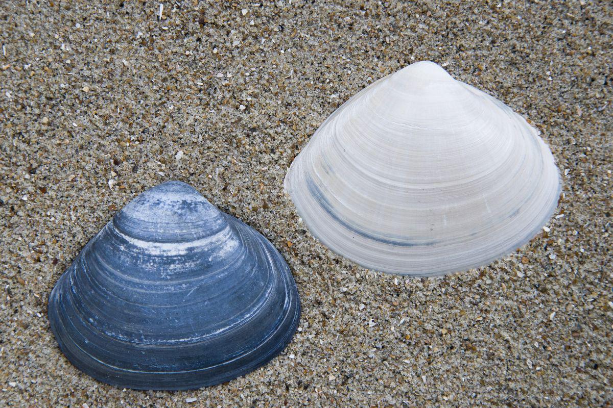 Fossiele schelpen van grote strandschelp | © Misjel Decleer