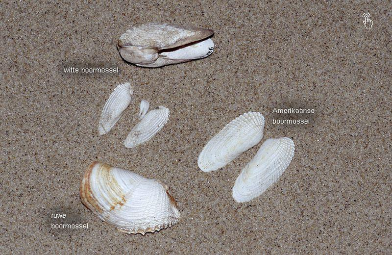 De verschillende boormossels | © Ecomare