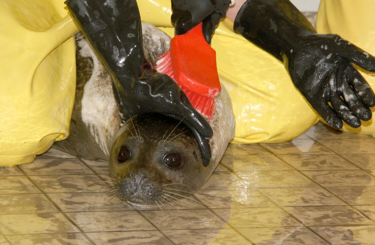 Zeehond met luis wordt gewassen   © Ecomare, Sytske Dijksen