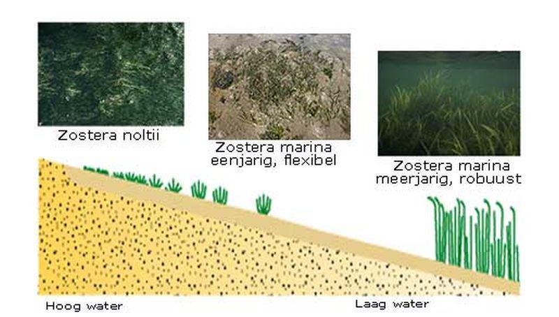 Schematische tekening van groeiplaatsen zeegrassoorten | © Ecomare, Marieke van Katwijk