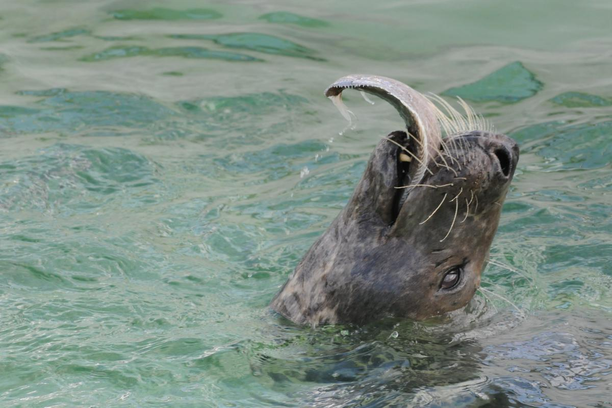 Grijze zeehond eet platvis   ©  Salko de Wolf