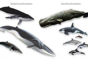 Collage walvissen   © Ecomare, Frits-Jan Maas
